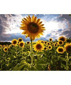 Картина по номерам Цветы солнца 40 х 50 см (BK-GX7451)